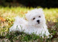 Maltese puppy (2 months old) Stock Photography