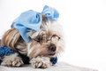 Maltese Terrier Girl Royalty Free Stock Photo