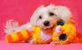Maltese and toy with a plush a playful dog Royalty Free Stock Photo
