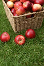 Malus domestica discovery autumn apple harvest variety Stock Photos