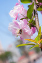 Malus halliana flower in spring and bee Stock Photo