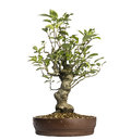 Malus perpetu bonsai tree isolated on white Royalty Free Stock Photo