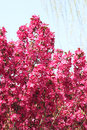 Malus sparkler the close up of flower branches of Stock Photo