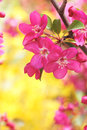 Malus sparkler the close up of flowers of Royalty Free Stock Photo