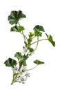 Malva neglecta wildflower common mallow wild flower isolated on white Royalty Free Stock Photography