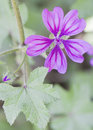 Malva selvatica close up picture of flower Royalty Free Stock Photography