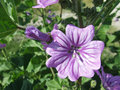 Malva sylvestris common mallow with leaves and flower bud Stock Photo