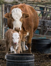 Mama and baby calf Royalty Free Stock Photo