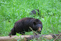 Mama  bear watching for her cub Royalty Free Stock Photo