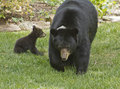 Mama Black Bear and Baby Royalty Free Stock Photo