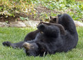 Mama Black Bear Nurses Her Three Cubs Royalty Free Stock Photo