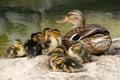 Mama Duck with Ten Baby Ducks Royalty Free Stock Photos