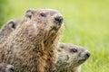 Mama groundhog with babies Royalty Free Stock Photo