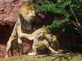 Mama to the rescue a lioness blocking a randy lion from her cub Royalty Free Stock Image
