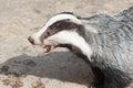 Mammal, Badger - close-up