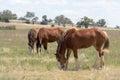 Mammal closeup of draft horses grazing in paddock Royalty Free Stock Image