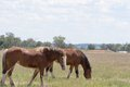 Mammal draft horses closeup in a grass pasture with cloudy sky Royalty Free Stock Images