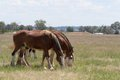 Mammal draft horses grazing in a grass pasture and cloudy sky Royalty Free Stock Photos