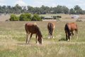 Mammal draft horses grazing in grass pasture with trees and buildings Stock Photos