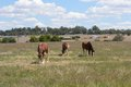 Mammal horses grazing in a rural pasture with cloudy sky Stock Images