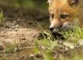 Mammal red fox D