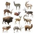 Mammals artiodactyl ruminant animals on white background isolated Royalty Free Stock Photo