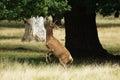 Mammals red deer jeleń szlachetny cervus elaphus Stock Photos