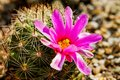 Mammillaria booli Royalty Free Stock Images