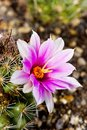 Mammillaria booli Royalty Free Stock Photo