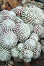 Mammillaria cactus in the garden Royalty Free Stock Images