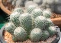Mammillaria cactus on pot a large group of succulent plants Royalty Free Stock Photo