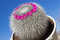Mammillaria cactus on sky background home blue Royalty Free Stock Photos