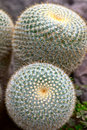 Mammillaria celsiana - Golden Pincushion - cactus Royalty Free Stock Photo