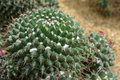 Mammillaria compressa dc cactus grows in sand Royalty Free Stock Photography