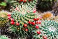 Mammillaria magnimamma cactus group of cactuses red flowers Royalty Free Stock Photo