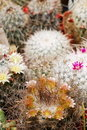 Mammillaria mix in flower Royalty Free Stock Image