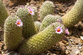 Mammillaria neopalmery blooming botanical garden phoenix az Royalty Free Stock Photo