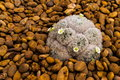 Mammillaria plumosa Stock Photography