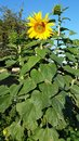 Mammoth sunflower standing tall Royalty Free Stock Photo