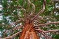 Mammoth tree with many branches skyward Royalty Free Stock Photo