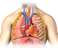 Man anatomy thorax cutaway with heart with main blood veins arterias and lungs Stock Image