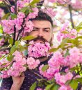 Man with beard and mustache on strict face near tender pink flowers. Masculinity concept. Hipster with sakura blossom in Royalty Free Stock Photo