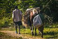 Man and boy accompany horse with goods along road in rural Haiti. Royalty Free Stock Photo