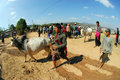 A man bringing his cow to market kalaw myanmar february unidentified people for sell traditional buffalo and ox on february in Royalty Free Stock Images