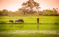 A man and buffalo in rice paddy in ninh binh vietnam walking his Stock Photography