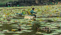 A man is clearing weeds from a great lotus pond bangkok thailand may and die plants to prevent water pollution in thailand on may Stock Photography