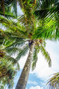 Man climbing a palm tree of Sri Lanka Royalty Free Stock Photo
