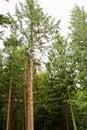 Man climbing a tall tree Royalty Free Stock Photo