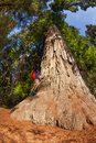 Man climbs on big tree in Redwood California Royalty Free Stock Photo