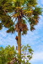 Man climbs a palm tree